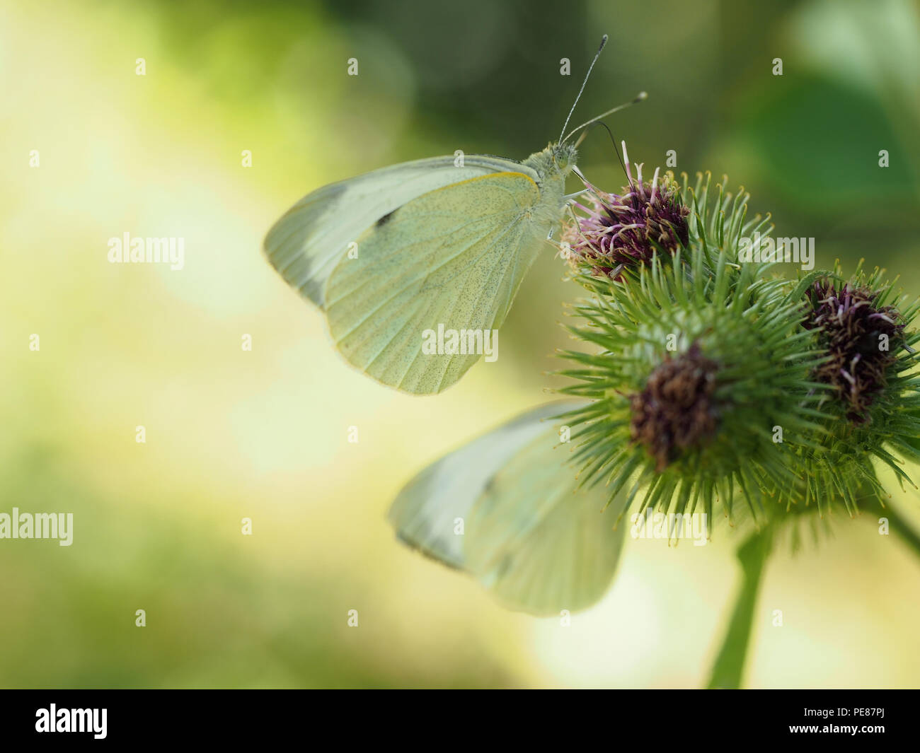 Belle image de papillon Pieris rapae aka petit choux blanc. Focus différentiel et rétro-éclairé pour un arrière-plan attrayant avec copyspace. Photo Stock