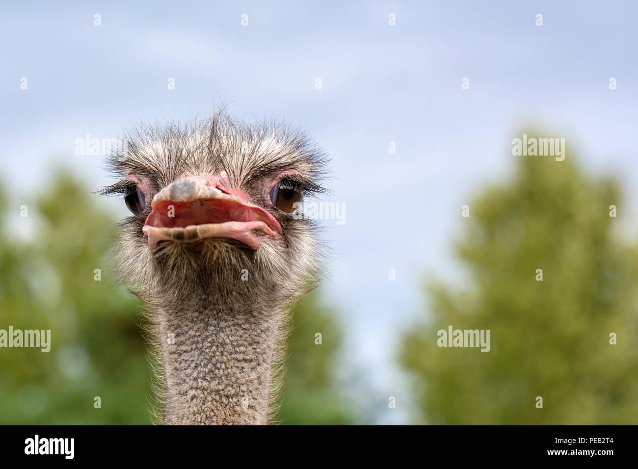 La tête d'autruche libre sur un arrière-plan flou. Photo Stock
