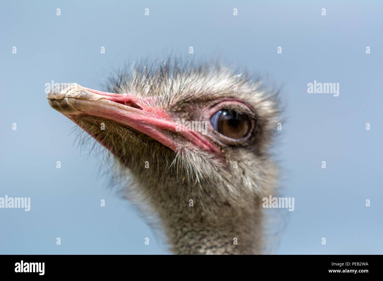 La tête d'autruche libre sur un fond bleu. Photo Stock