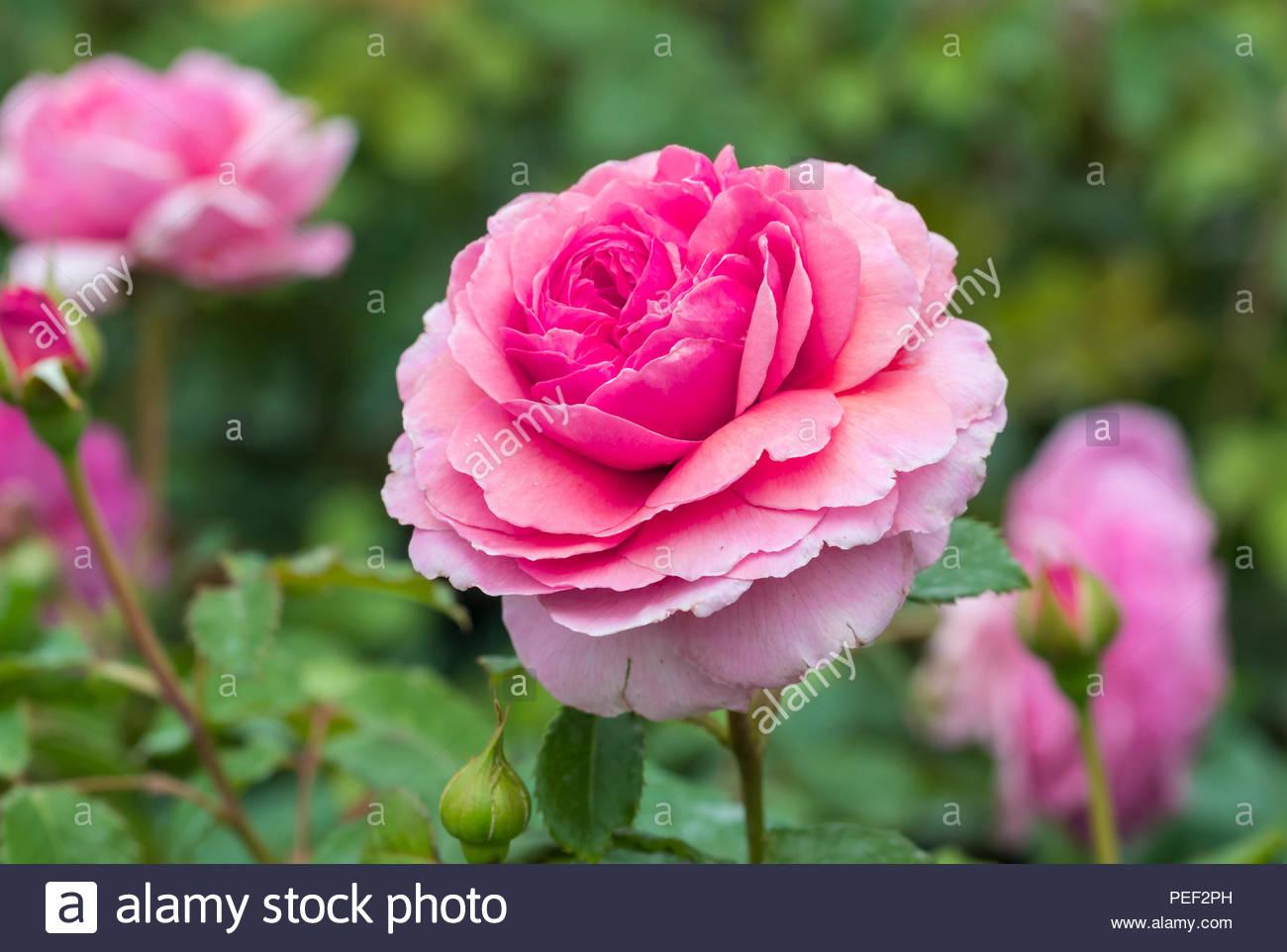 Rosa 'La Princesse Alexandra de Kent' (Ausmerchant), une rose parfumée rose Floraison Rose Anglaise en été dans le West Sussex, Angleterre, Royaume-Uni. Photo Stock