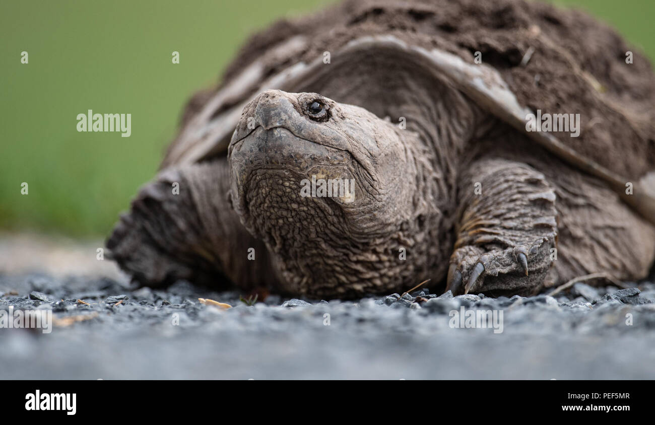 Tortue serpentine Photo Stock