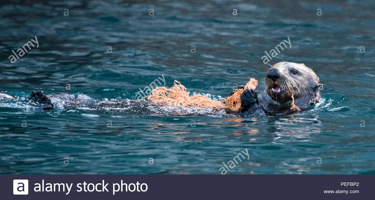 Une loutre nage, la maintenant sur un panier Gorgonocephalus eucnemis, Star, à l'Inian Îles. Photo Stock