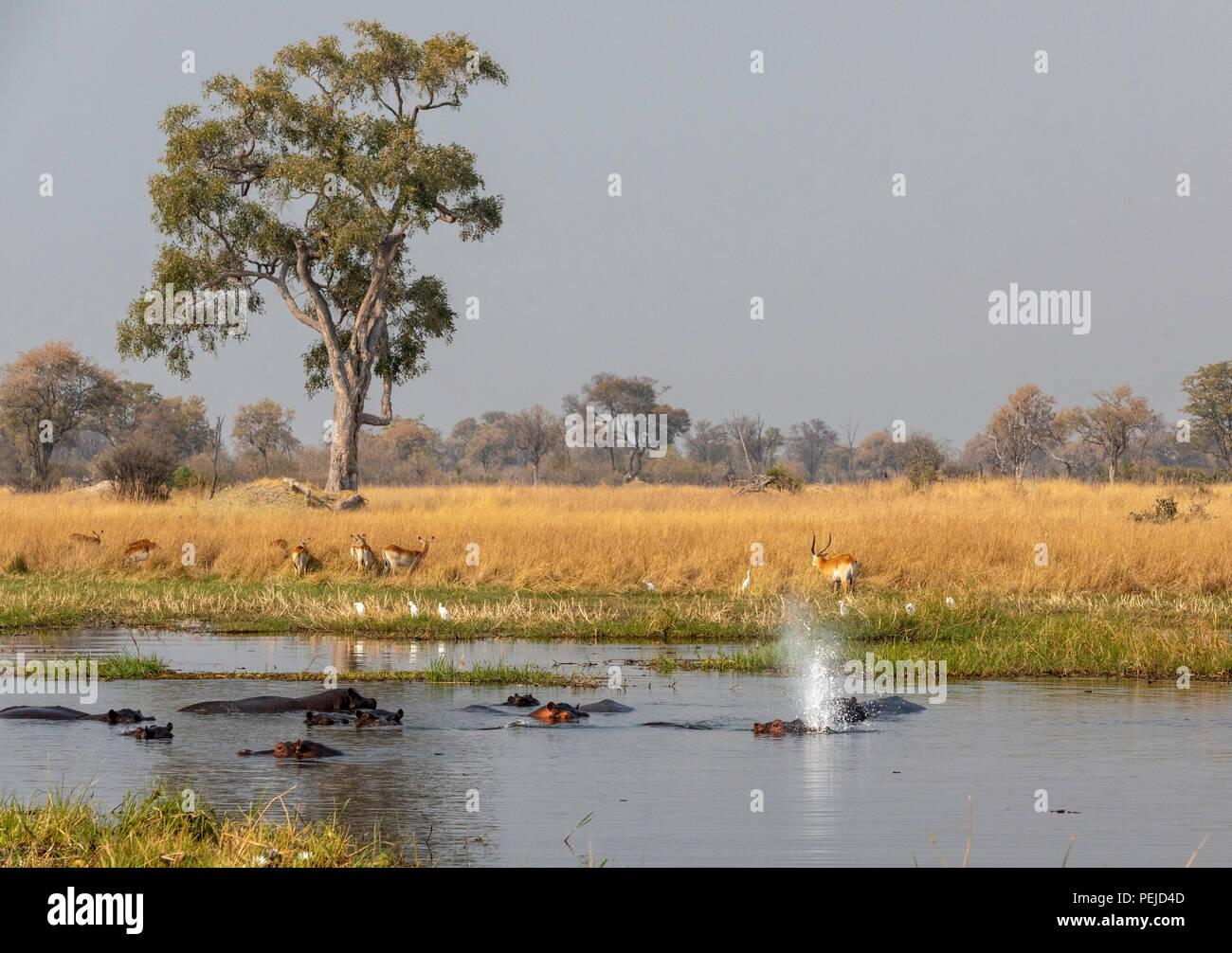 Troupeau d'hippopotames dans la rivière, piscine , un souffle de l'eau, Réserve privée Khwai, Okavango Delta, Botswana Photo Stock