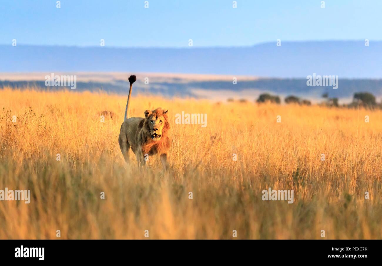 Jeune homme hargneux Mara lion (Panthera leo) frais d'attaquer un rival sur les prairies de la Masai Mara, Kenya dans le comportement agressif typique Photo Stock