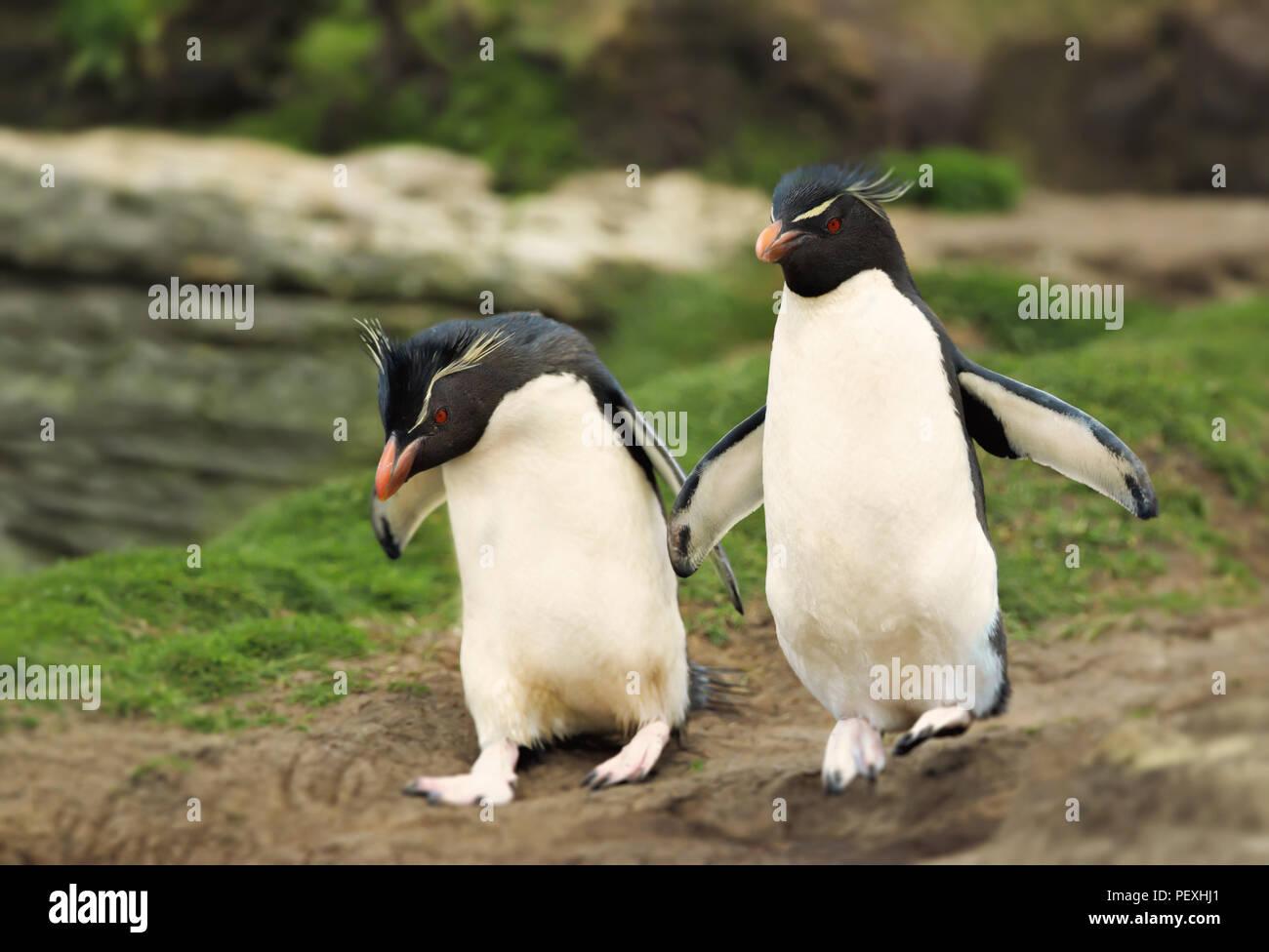Le Sud Rockhopper Penguin penguin encourage une autre pour sauter, îles Falkland. Photo Stock
