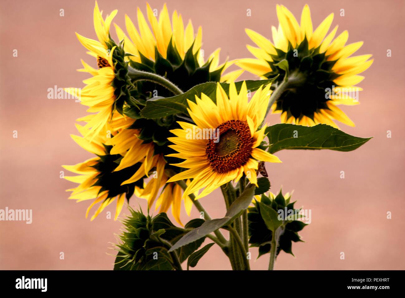 concept de - nature : le bouquet de tournesol banque d'images, photo