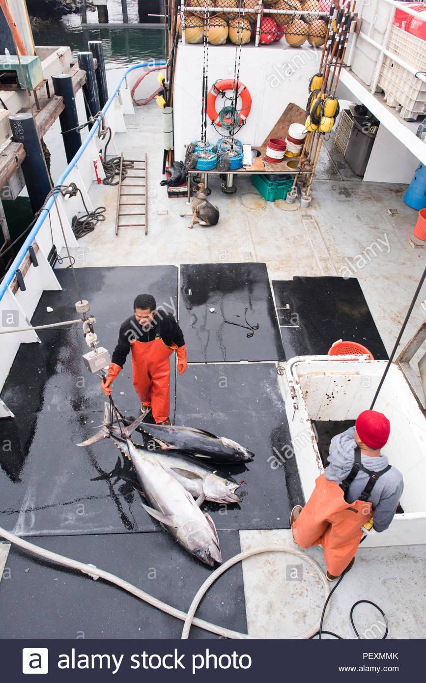 Les matelots de déchargement de bateau de pêche commerciale du thon, San Diego, California, USA Photo Stock