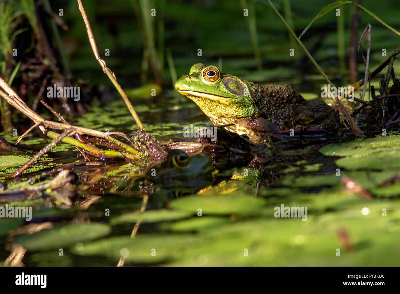 (Lithobates catesbeianus grenouille taureau américain) - Indian Point Trail - Le Jardin des Dieux, Shawnee National Forest, Illinois, États-Unis Banque D'Images