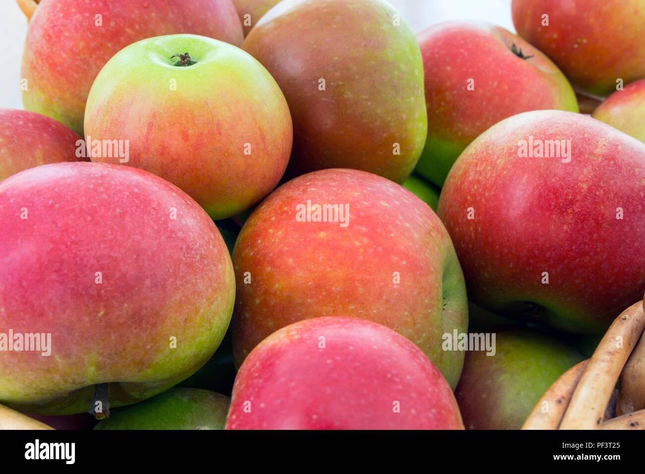 Un panier fraîchement cueillies de découverte (Malus domestica) Les pommes. Banque D'Images