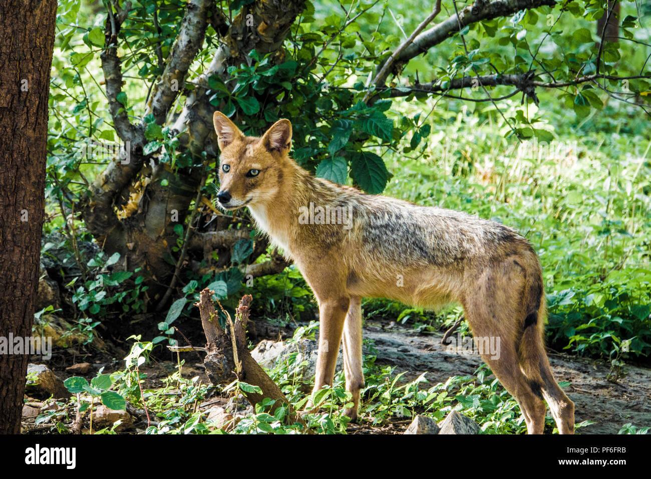 Indian jackal (Canis aureus indicus) en forêt Banque D'Images