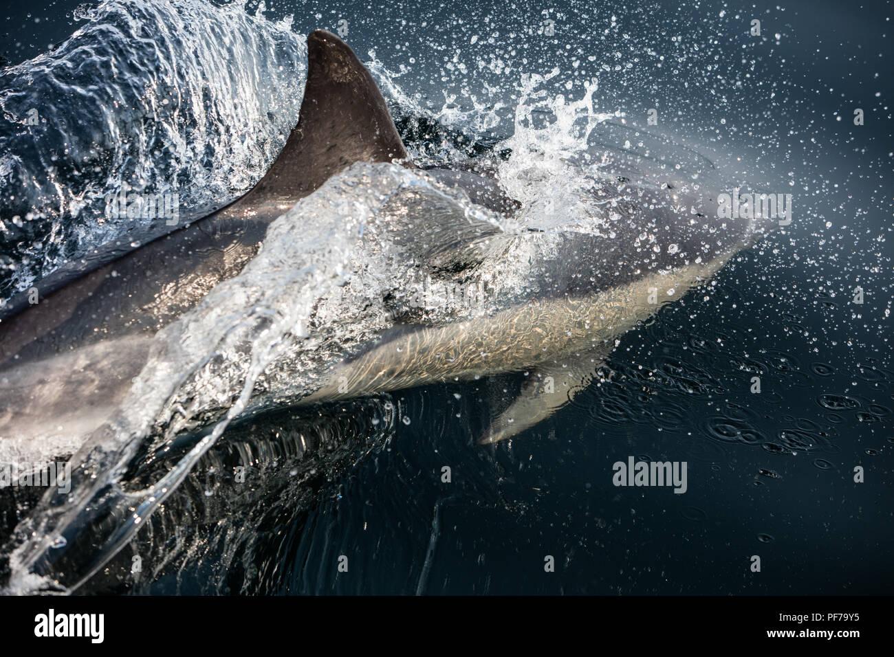 Un Short-Beaked rapide et agile dauphin commun, Delphinus delphis, nage dans l'océan Atlantique Nord au large de Cape Cod, au Massachusetts. Photo Stock