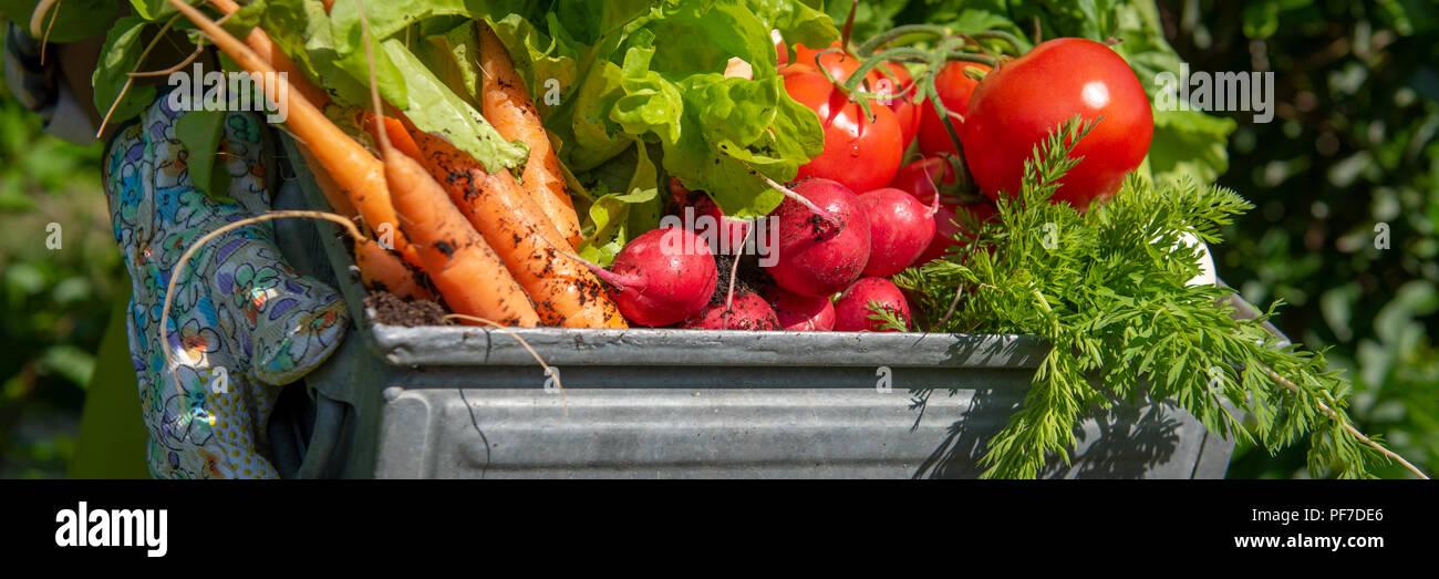 Méconnaissable female farmer holding caisse pleine de légumes fraîchement récoltés dans son jardin. Homegrown bio produit concept. L'avenir de la vie banne Banque D'Images