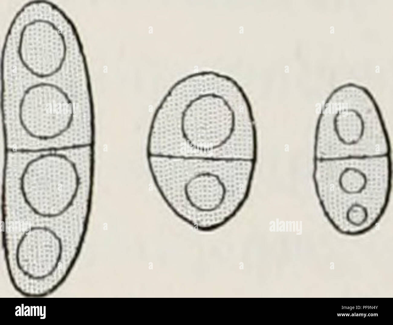 ". ¨ me Deuxià expédition antarctique francaise (1908-1910). Histoire naturelle -- Antarctique; expéditions scientifiques -- Antarctique; l'Antarctique. 128. lIyphfi edullares LICHENS'M4-6 jy.crassa^ iodooirrulc!j',, verticales, sphaToideo vel oblongo articulata', caviter triplici D'est Guéguéron reagente tincta, Ac!non?nealuspra; bentes basim et slratunivel lineascoloratasofferentes strictecoaliter vel alque. L'apo- thecia 0,î)-0,6 mio lala, ex toto nigra, précité crus- Fio- f,""^/^^,v/â ,,â j , V ,/ â â. - Tamdispersa,7, , prinium, pau- iig. u. ÂLeciaea (EC) Buellia'reUa Hue. (Gixiss. 7.')() de diam Photo Stock"