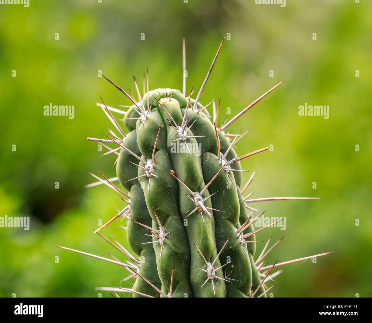Cactus épineux, Close up, Manitoba, Canada. Photo Stock