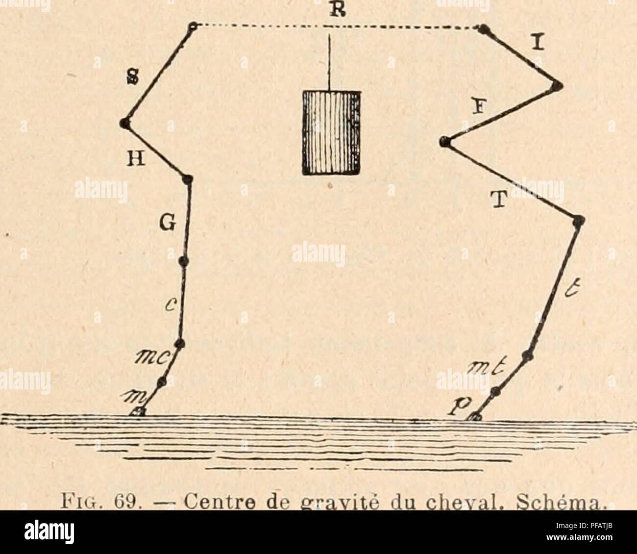 """. Dictionnaire de physiologie. La physiologie. FiG. 68. Squelette du cheval. C'est ce dernier genre de station qui nous permettra d'apprécier les conditions d'équilibre de l'animal sur ses quatre membres. Richard (du Cantal) (i8i7) comparer les quatre membres du cheval à quatre colonnes verticales"""", soumises aux lois des colonnes ordinaires, la verticalité, la direction perpen- diculaire à la surface d'appui vK ainsi que l'a dit Giraud-Teulon^ (1858), les membres antérieurs à bien are provided première vue l'aspect d'une colonne. En réalité, il n'en est pas ainsi, et le squelette de l'anim Photo Stock"""