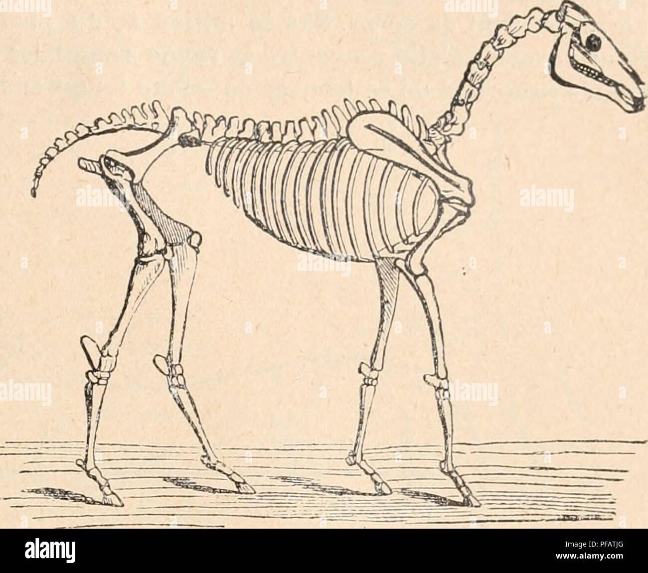 """. Dictionnaire de physiologie. La physiologie. La locomotion. 221. FiG. 68. Squelette du cheval. C'est ce dernier genre de station qui nous permettra d'apprécier les conditions d'équilibre de l'animal sur ses quatre membres. Richard (du Cantal) (i8i7) comparer les quatre membres du cheval à quatre colonnes verticales"""", soumises aux lois des colonnes ordinaires, la verticalité, la direction perpen- diculaire à la surface d'appui vK ainsi que l'a dit Giraud-Teulon^ (1858), les membres antérieurs à bien are provided première vue l'aspect d'une colonne. En réalité, il n'en est pas ainsi, et le sq Photo Stock"""