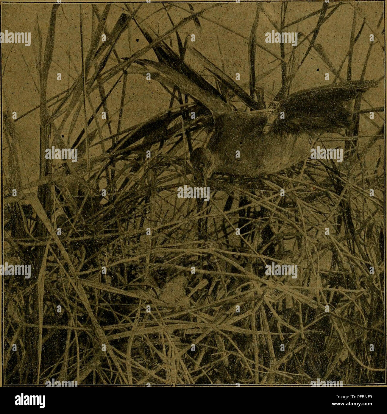 Der Ornithologische Beobachter. Lu0027ornithologie, Les Oiseaux. TT.^  .