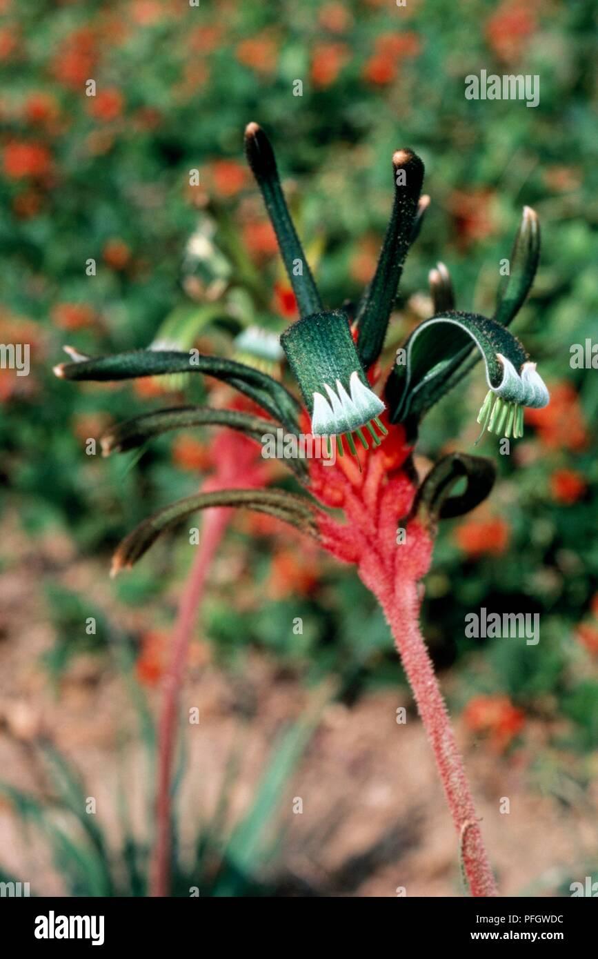 A Partir De La Fleur Anigozanthos Manglesii Patte De Kangourou Du