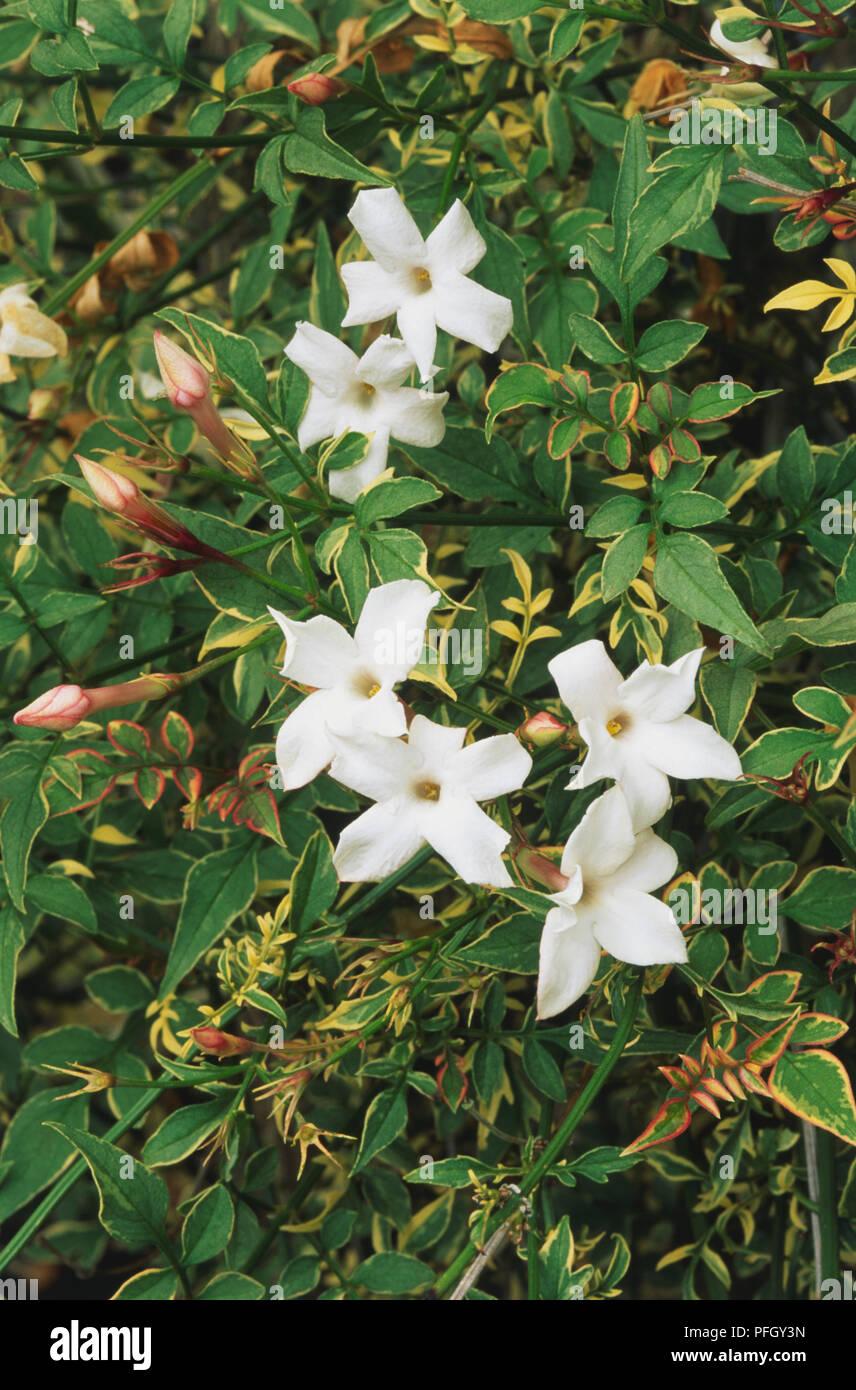 jasminum officinale 'argenteovariegatum', arbuste à fleurs, jasmin