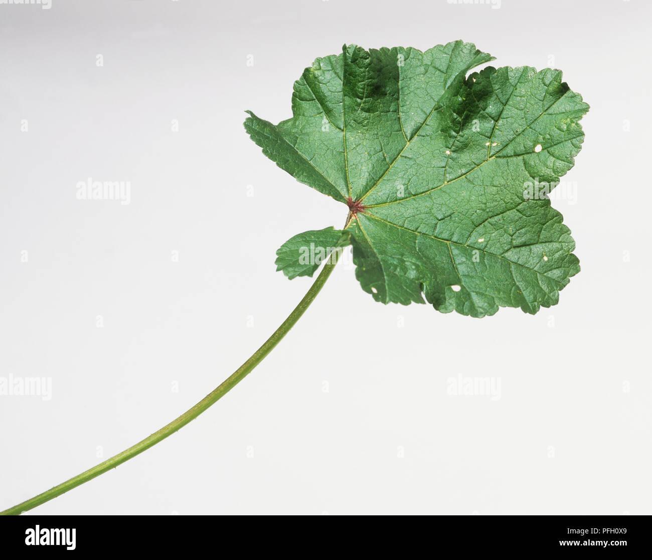 Vert feuille sur tige longue, montrant bords dentelés et petits trous sur surface Banque D'Images