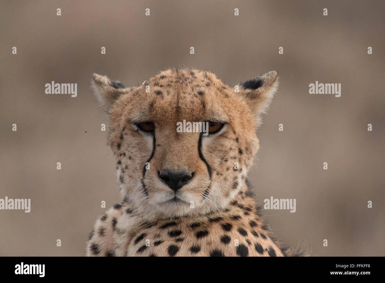 Le Masai Mara, Kenya, Safari Banque D'Images
