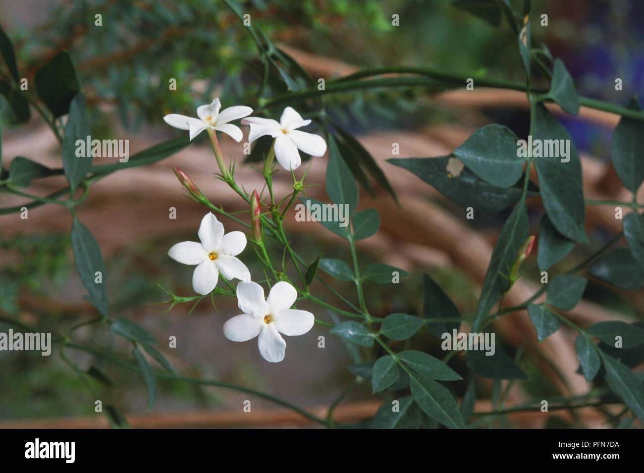 jasminum grandiflorum jasmin royal, ou l'espagnol ou jasmin jati