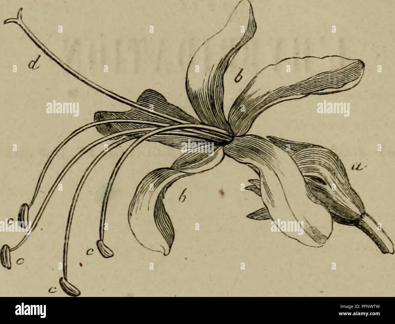 . De la fécondation naturelle et artificielle des végétaux et de l'hybridation, considérée dans ses rapports avec l'horticulture, l'agriculture et la sylviculture, contenant les moyens pratiques d'opérer l'hybridation et de créer facilement des variétés nouvelles. La fertilisation des plantes; l'hybridation des plantes. 'J'FÃCONDATION VÃGÃTAUX. NATURELLE DES cer les organes qu'ils supportent à la hauteur la plus ctiver- pour que le pollen du contact avec le stigmate puisse avoir lieu. Le périgone en simple ou double entoure les organes sexuels, et sert à les à les garantir, diccionario español des vents Photo Stock