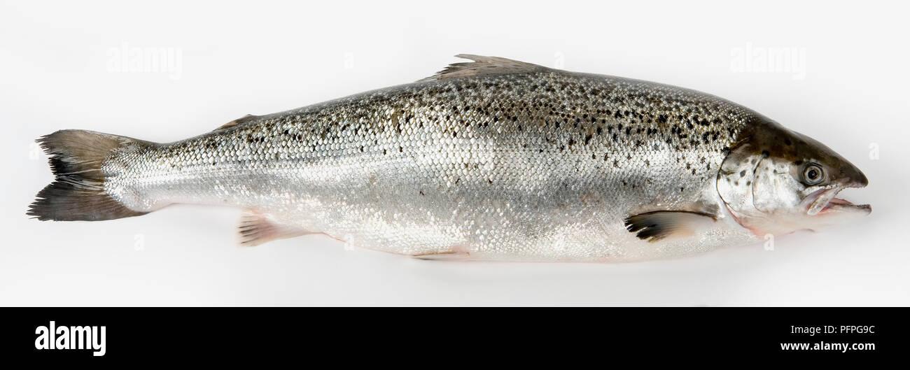 Poisson saumon frais, side view Banque D'Images