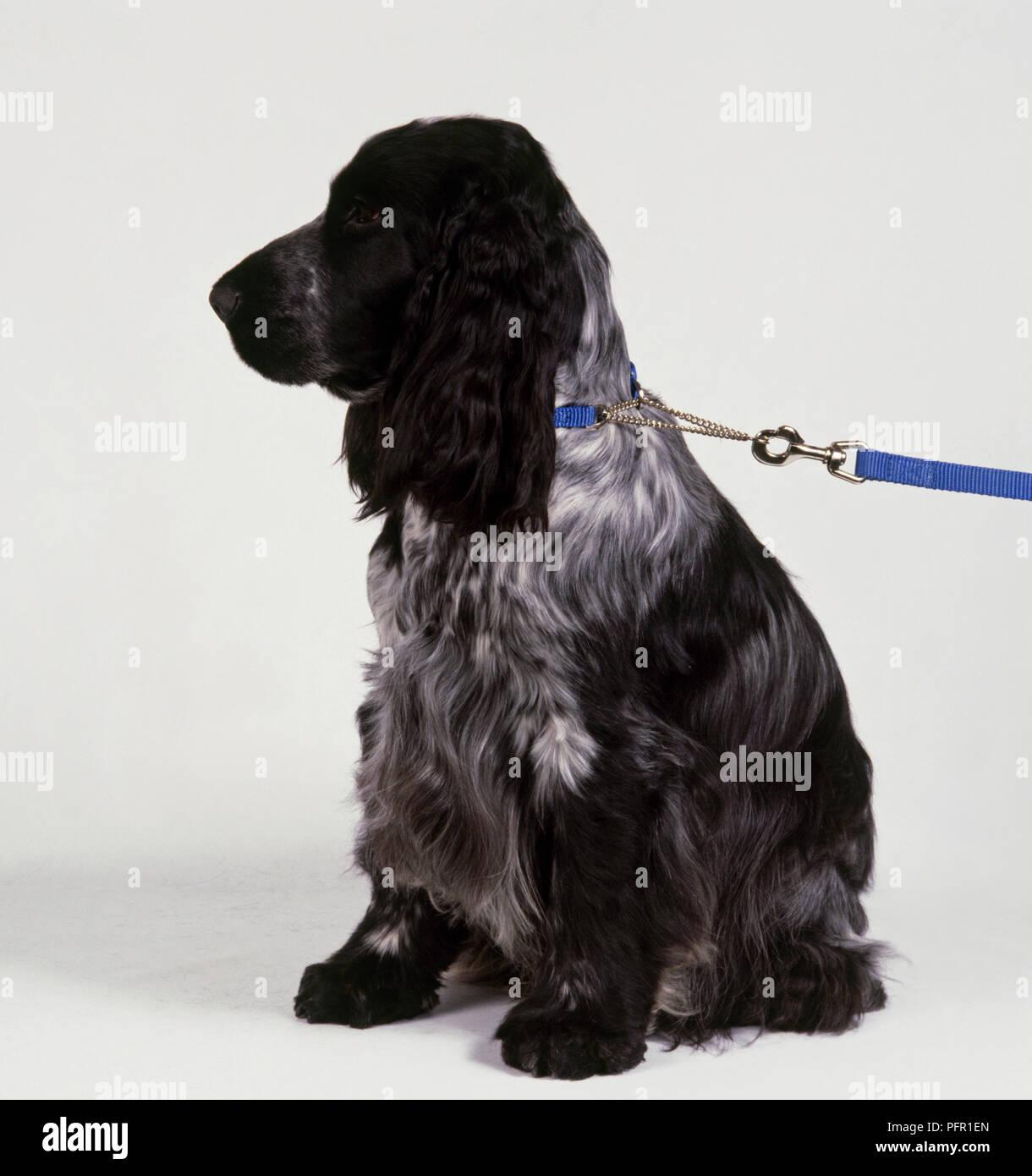 collier pour chien cocker