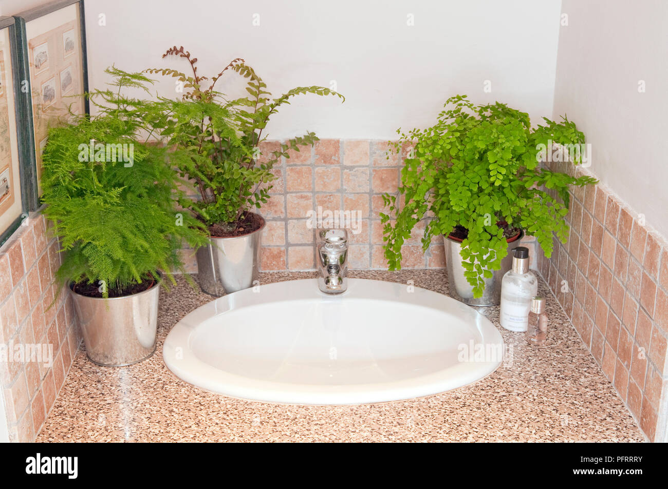 Maidenhair Fern Pot Photos Maidenhair Fern Pot Images Alamy