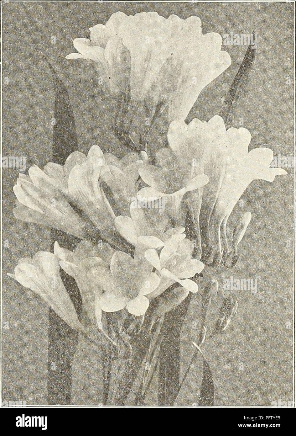 "Ampoule//tuber ZANTEDESCHIA /""Rose/"" Calla Lily Summer bulbes à fleurs"