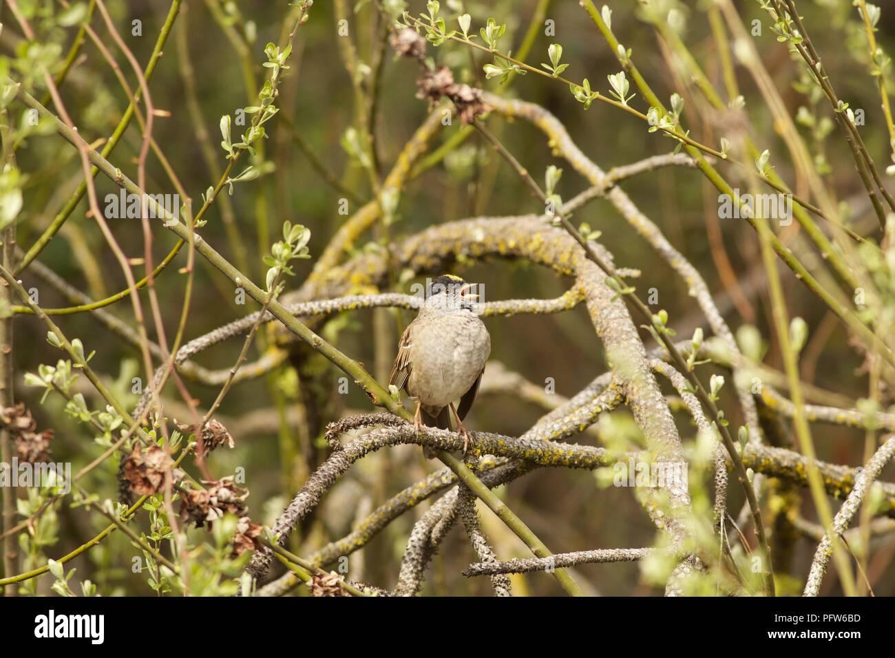 Bruant à couronne dorée mâle (Zonotrichia atricapilla) tombé sur sapin, Bass Lake, en Californie. Banque D'Images