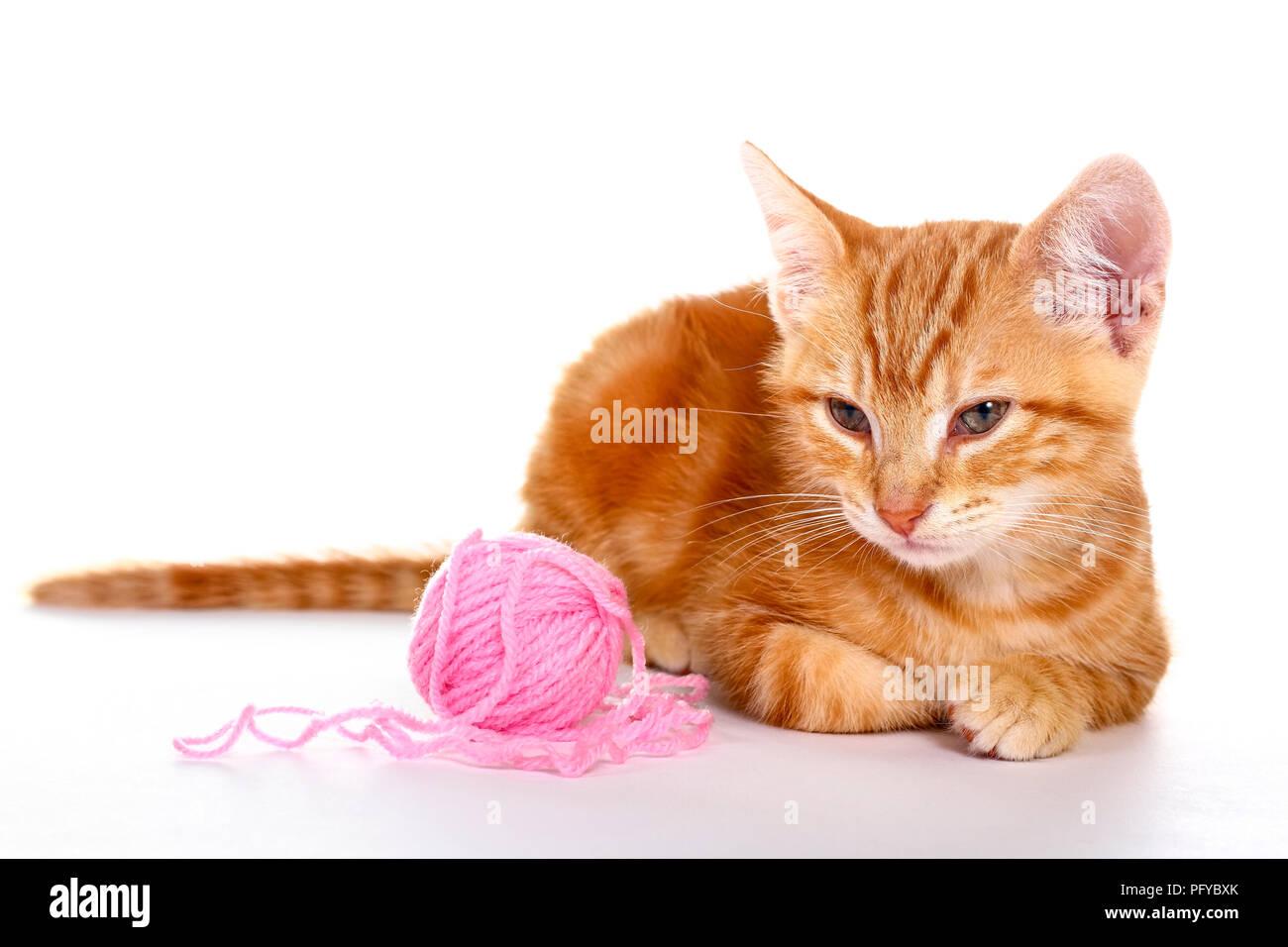 Le gingembre mackerel tabby kitten isolé sur un fond blanc jouant avec une balle de laine rose Banque D'Images