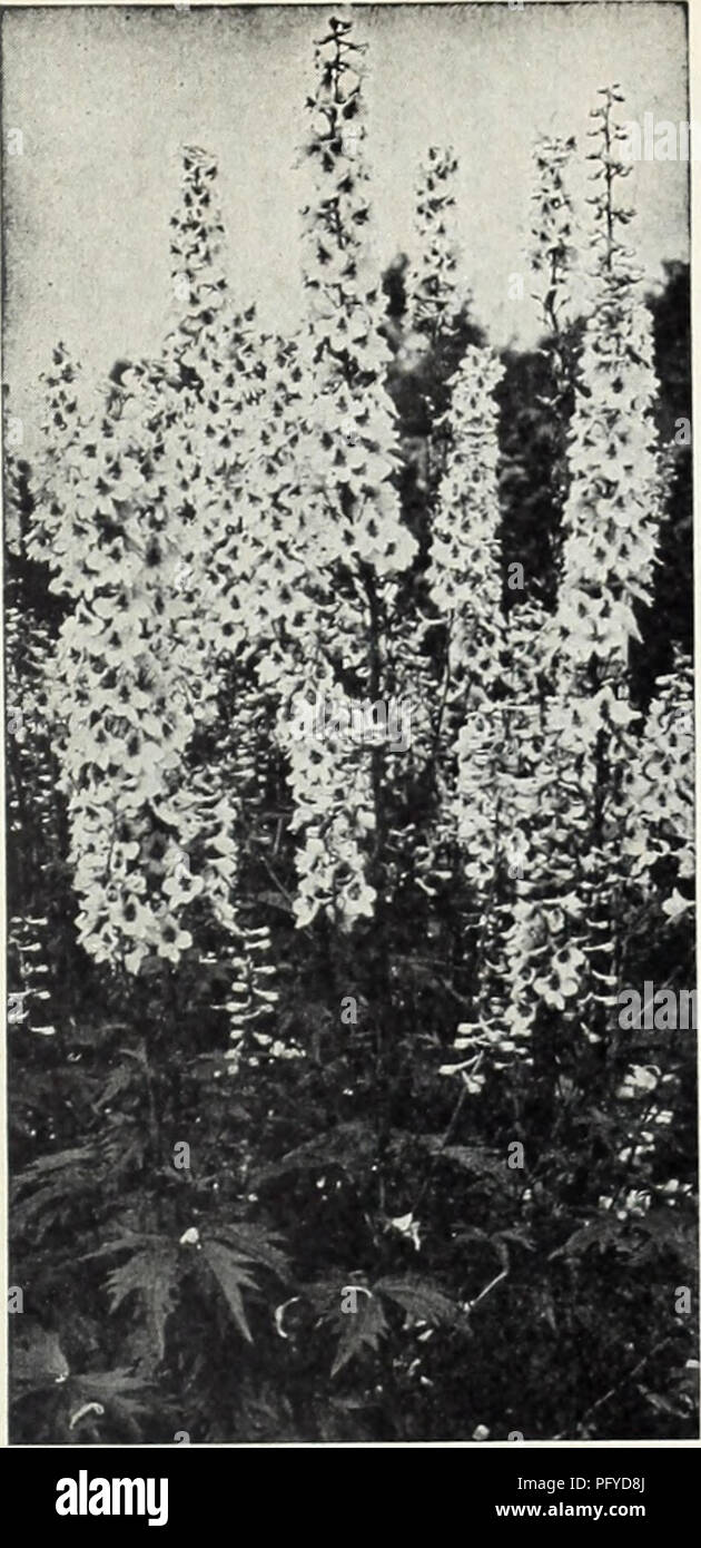 Delphinium-Pacific Giants Roi Arthur 50 graines