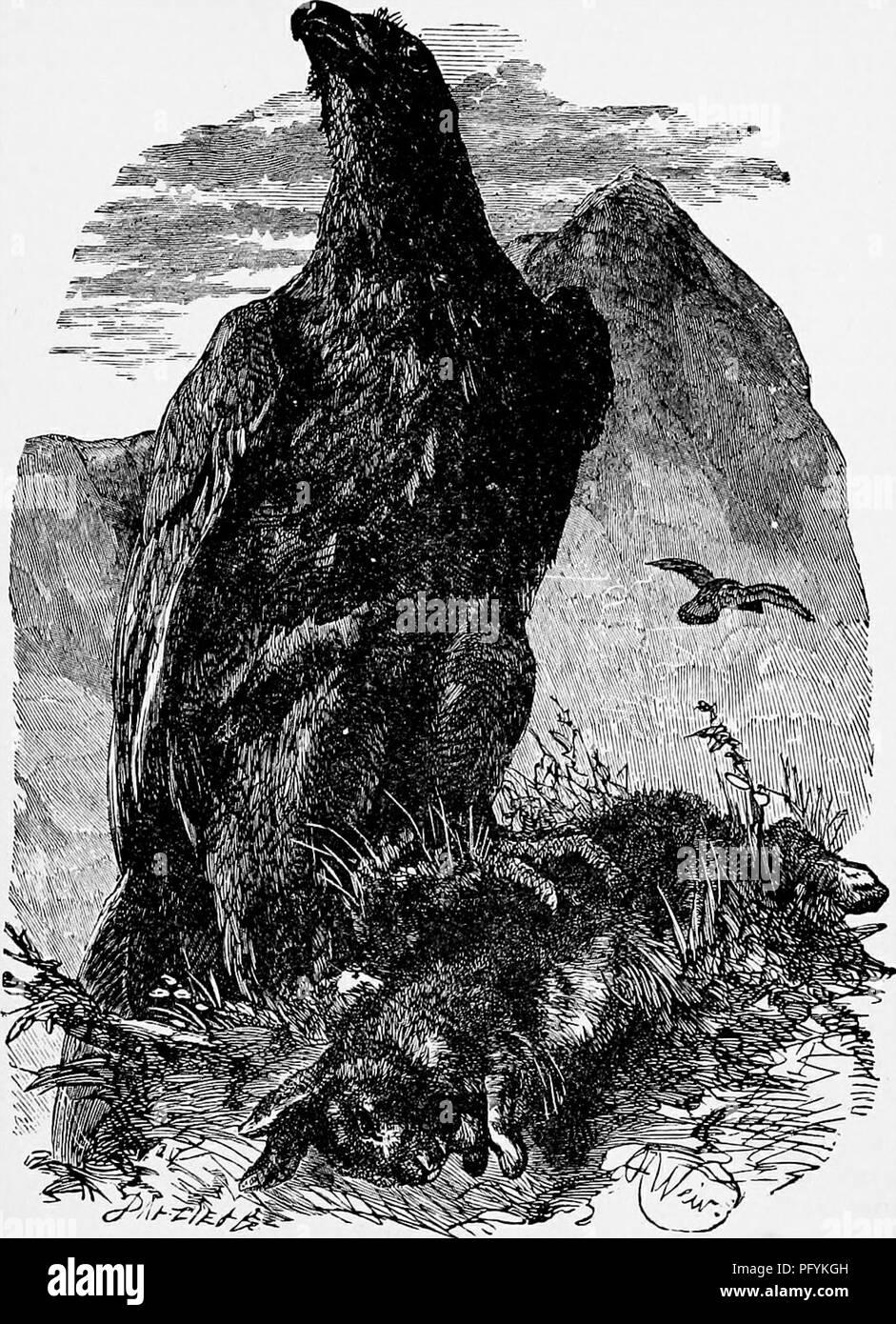 4d98b3488aeb5 lhistoire-naturelle-populaire-zoologie-laigle-royal-339-gris-diversifie-avec-plusieurs-bars-fonce-brun-ordinaire-iil-son-immature-le-plumage- de-laigle-royal ...