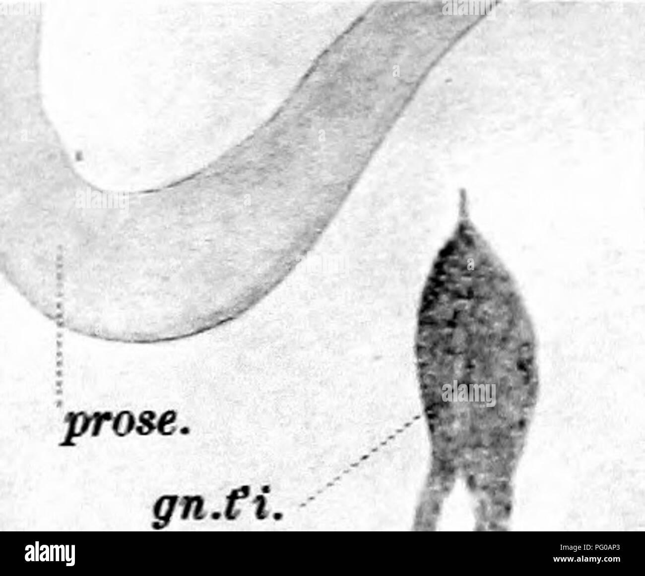 . Le développement de l'nerf oculomoteur, le ganglion ciliaire, et l'abducent nerf dans le poussin. Nerf optique; système nerveux sympathique; oiseaux; la volaille. CA5lPE:- NrEH OCJLCMCTCRIT^^ W'' ..nidl.oc'Mot. ,-/Â ¢ v-_ -cr. Ce f. Â trt.fbr.v. i (^^ 5. II n. odrnot ^^ m'fnrh. rm.opth.trig.^:k pdl.opt. 12 v.crd.a. Remorques 14.zim.KK. rm.opth.trig n.oc^^ 1 mot je rn.<td.a. Je n'7OC.JM)J. 13 Un gn.cO rtn par...i. Â - je rtn par..Ex. EW.G-del 1=^ hElIOTTPE. CO., BOSTON.. Veuillez noter que ces images sont extraites de la page numérisée des images qui peuvent avoir été retouchées numériquement pour plus de lisibilité -. Banque D'Images