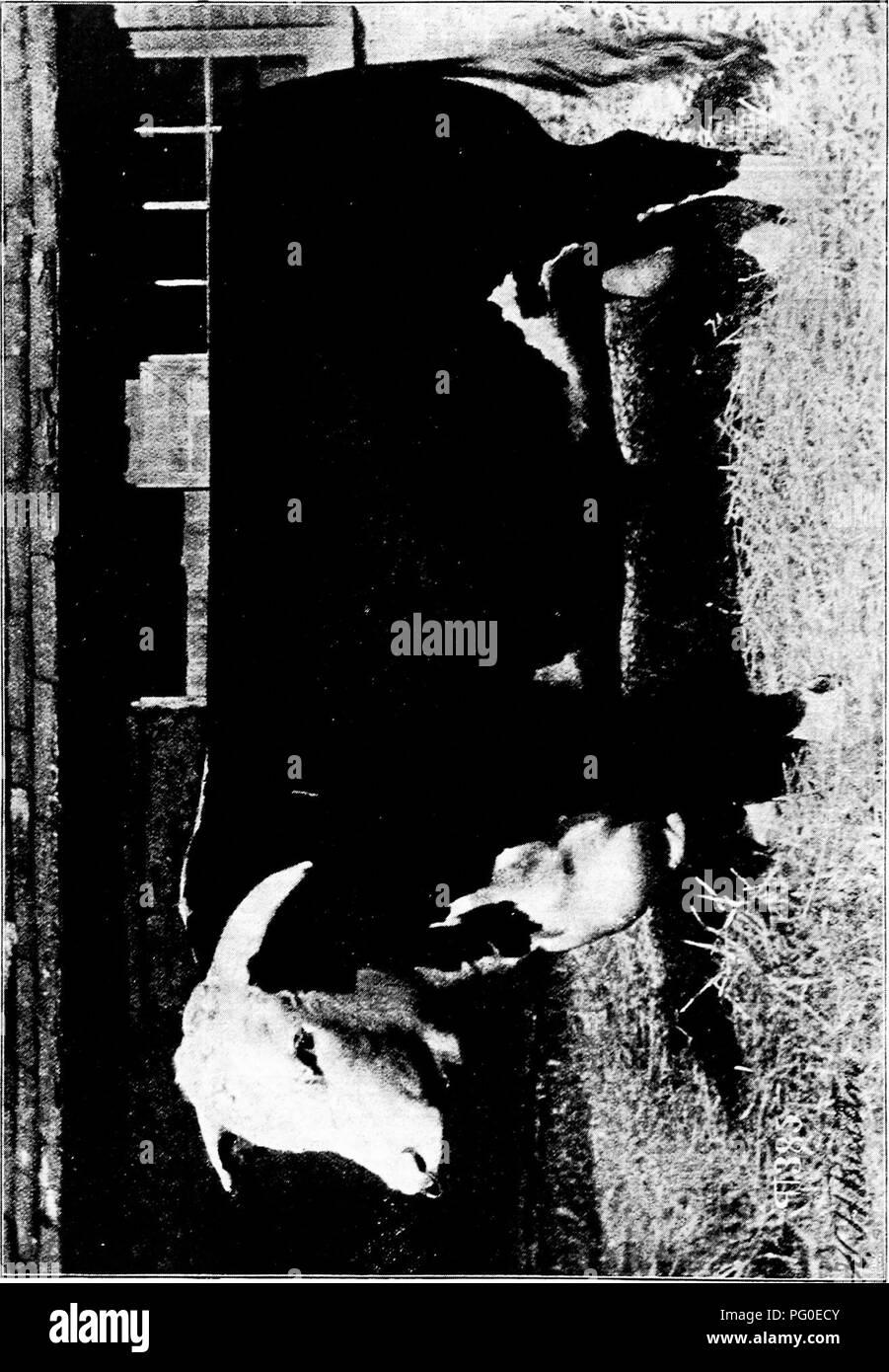 . Histoire de bovins Hereford: prouvé de façon concluante la plus ancienne d'espèces améliorées . Bovins Hereford. . Veuillez noter que ces images sont extraites de la page numérisée des images qui peuvent avoir été retouchées numériquement pour plus de lisibilité - coloration et l'aspect de ces illustrations ne peut pas parfaitement ressembler à l'œuvre originale.. Miller, T. L. (Timothy Lathrop), 1817-1900; Sotham, Wm. H. (William H. ). Chillicothe, F. B. T.: Ve Sotham Banque D'Images