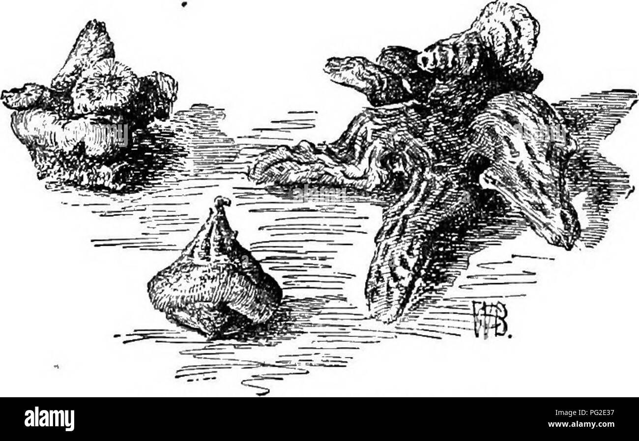 . Cyclopedia of American horticulture, comprenant des suggestions pour la culture de plantes horticoles, les descriptions des espèces de fruits, légumes, fleurs et plantes ornementales vendues aux États-Unis et au Canada, ainsi que des notes biographiques et géographiques. Le jardinage. 84. Anemone patens, var, Nuttalliana (YE). X hortensis, là., 8; 21; multifida, japonica, nar- cissiflora; 22, 24; 15; nemorosa, nemorosa, var. quinqiie- folia, 16; oooidentalls; 5, 19; Oregana, palmata, 10; patens, 3, 8; Pavoniana; Pennsylvanica, 23; Pulsa- tilla, Parthenocissus quinquefolia; 4, 16; ranunculoid Banque D'Images