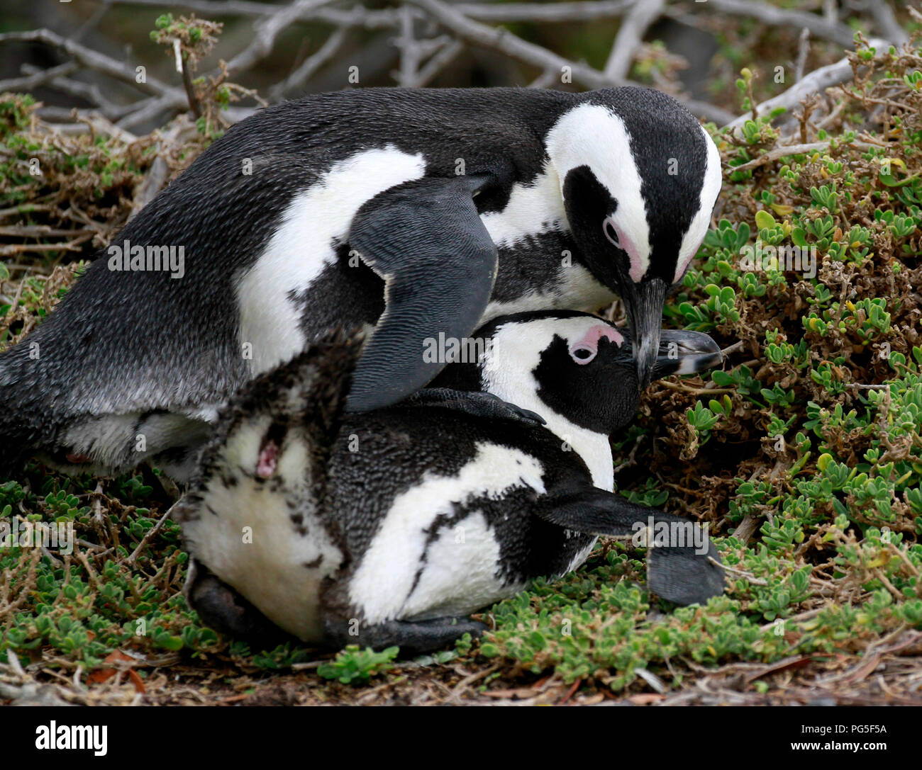 Les pingouins africains (Spheniscus demersus) à Stony Point Nature Reserve, Betty's Bay, Afrique du Sud. Photo Stock