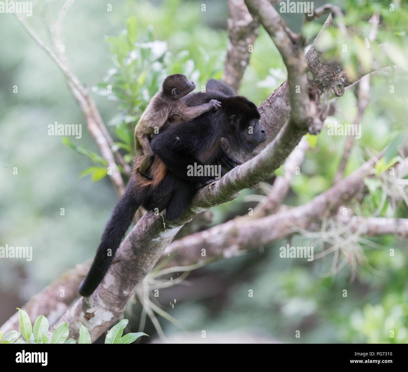 Singe hurleur dans la famille d'arbres Photo Stock