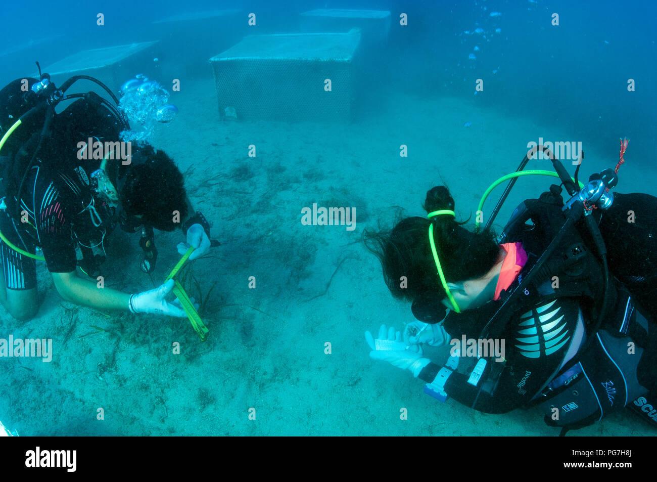Les biologistes marins l'expérimentation sur la restauration des écosystèmes des mers grass Posidonia oceanica, contre le changement climatique et d'autres effets anthropiques. Photo Stock