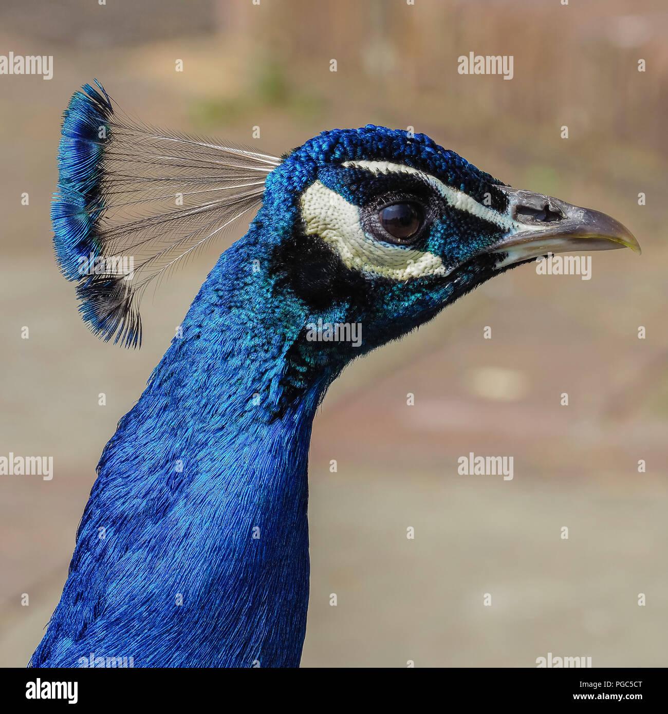 Paons Indiens captifs, Pavo cristatus, montrant chef cimier bleu et vert bleu irisé plumage, Leeds Castle, Kent, Angleterre Photo Stock