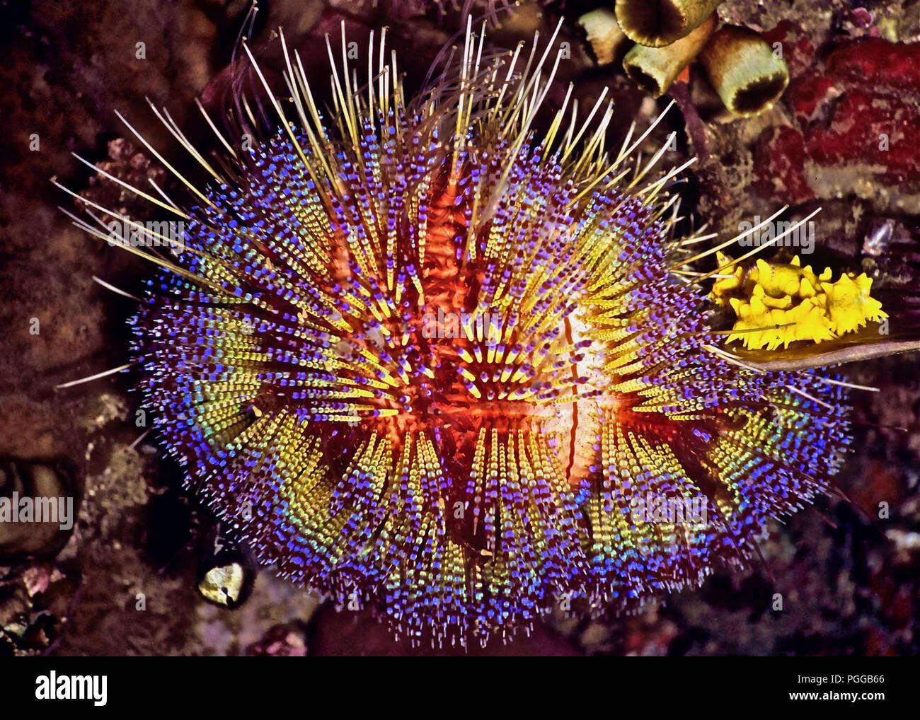 Les épines de couleur vive de ce feu (oursin Astropyga radiata   diamètre  20 cms 8566accb464