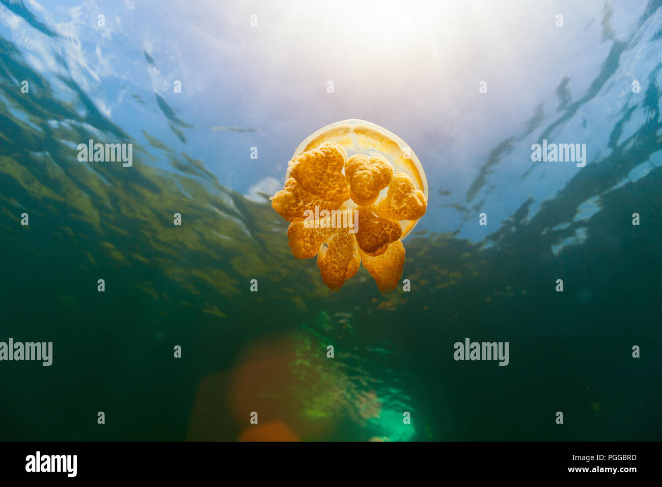 De photo sous-marine dans le lac Jellyfish or endémique à Palau. Photo Stock