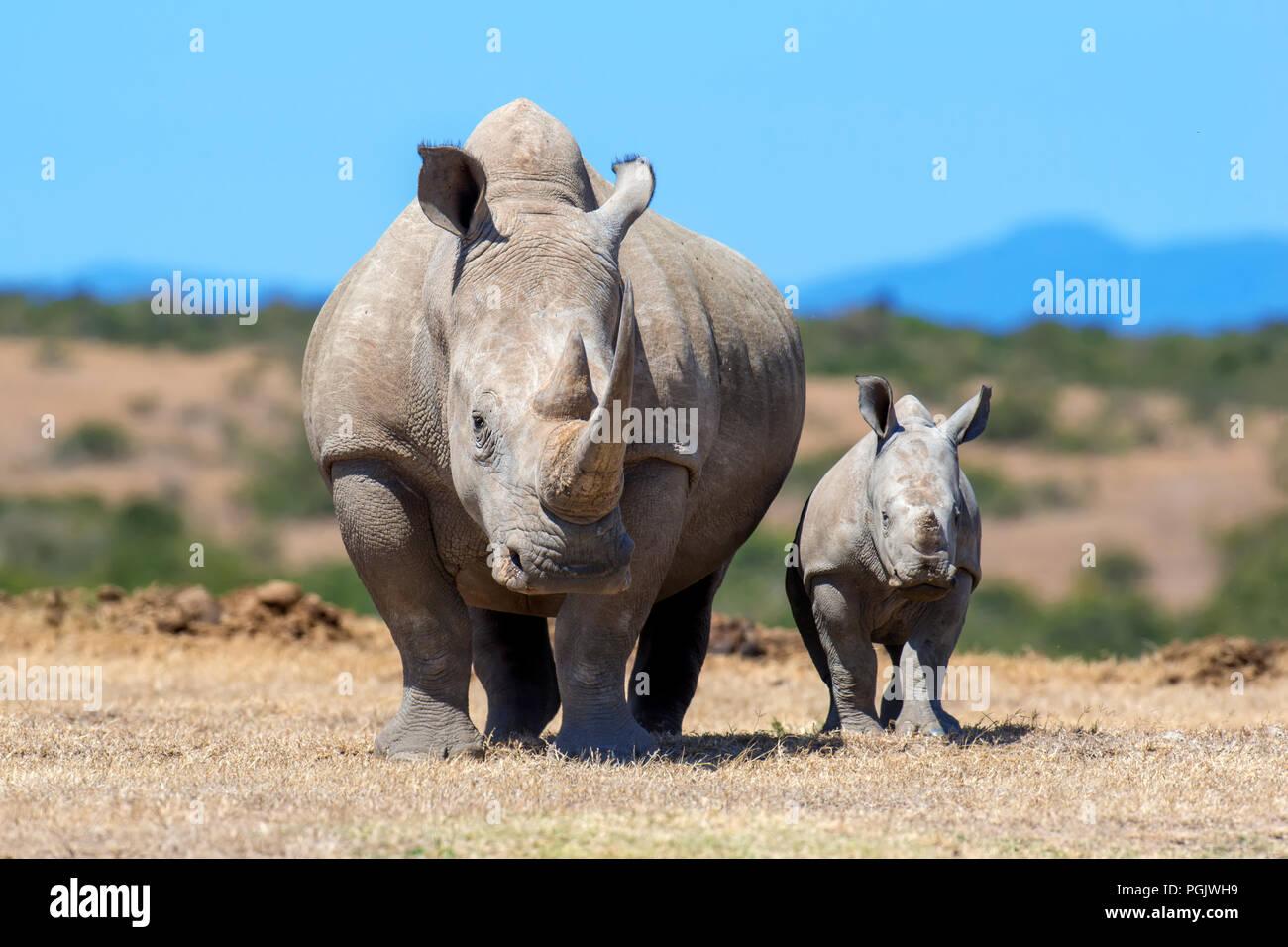 Le rhinocéros blanc d'Afrique, parc national du Kenya Photo Stock
