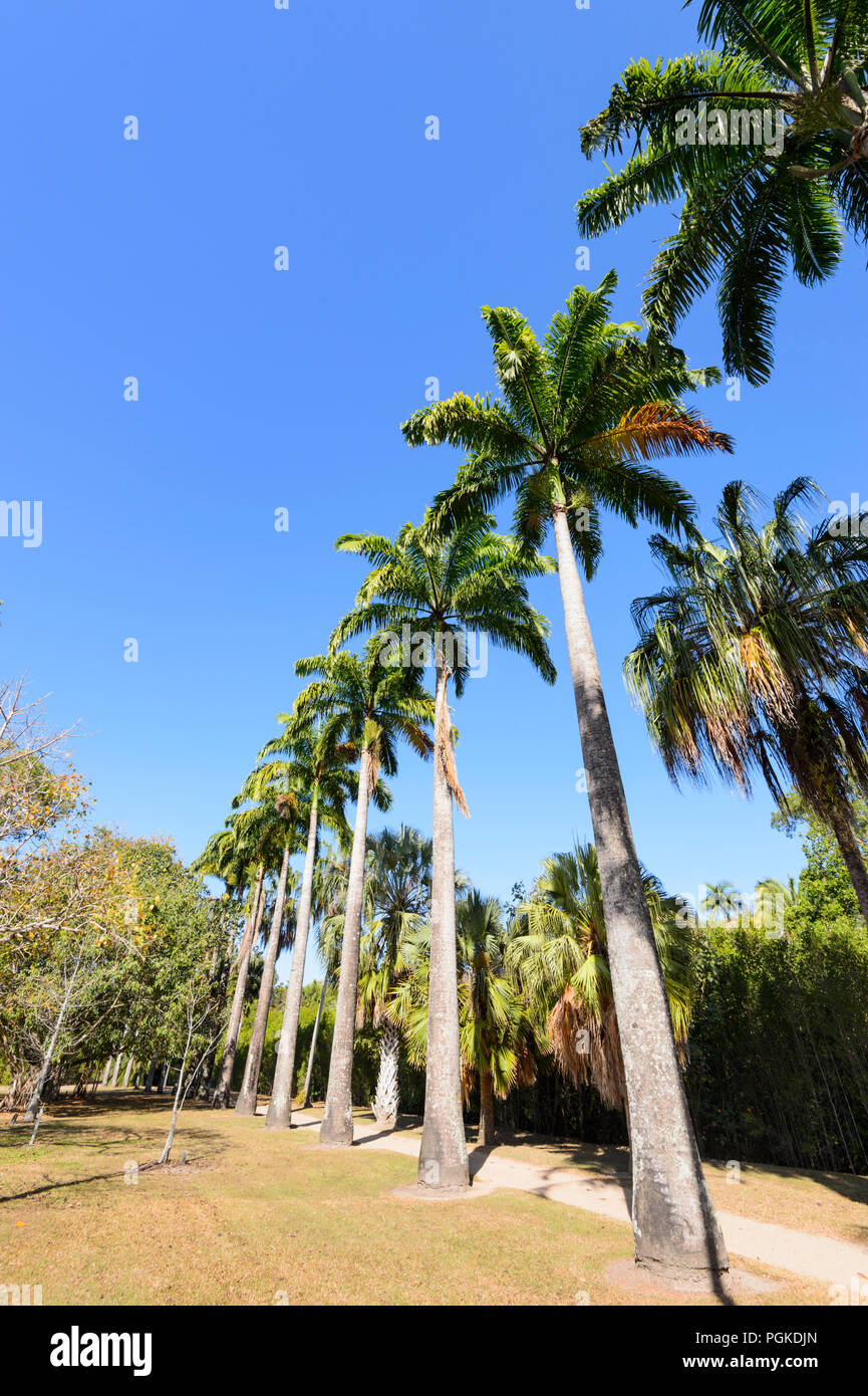 Rangée de grands palmiers à droite du ruisseau d'eau salée, Cairns, Far North Queensland, Queensland, Australie, FNQ Photo Stock