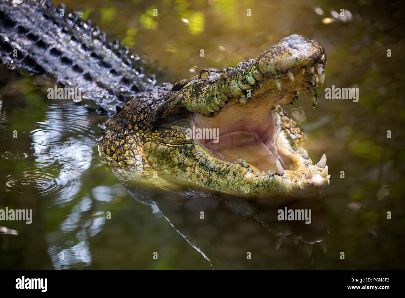 Crocodile avec la bouche ouverte à Bali Photo Stock