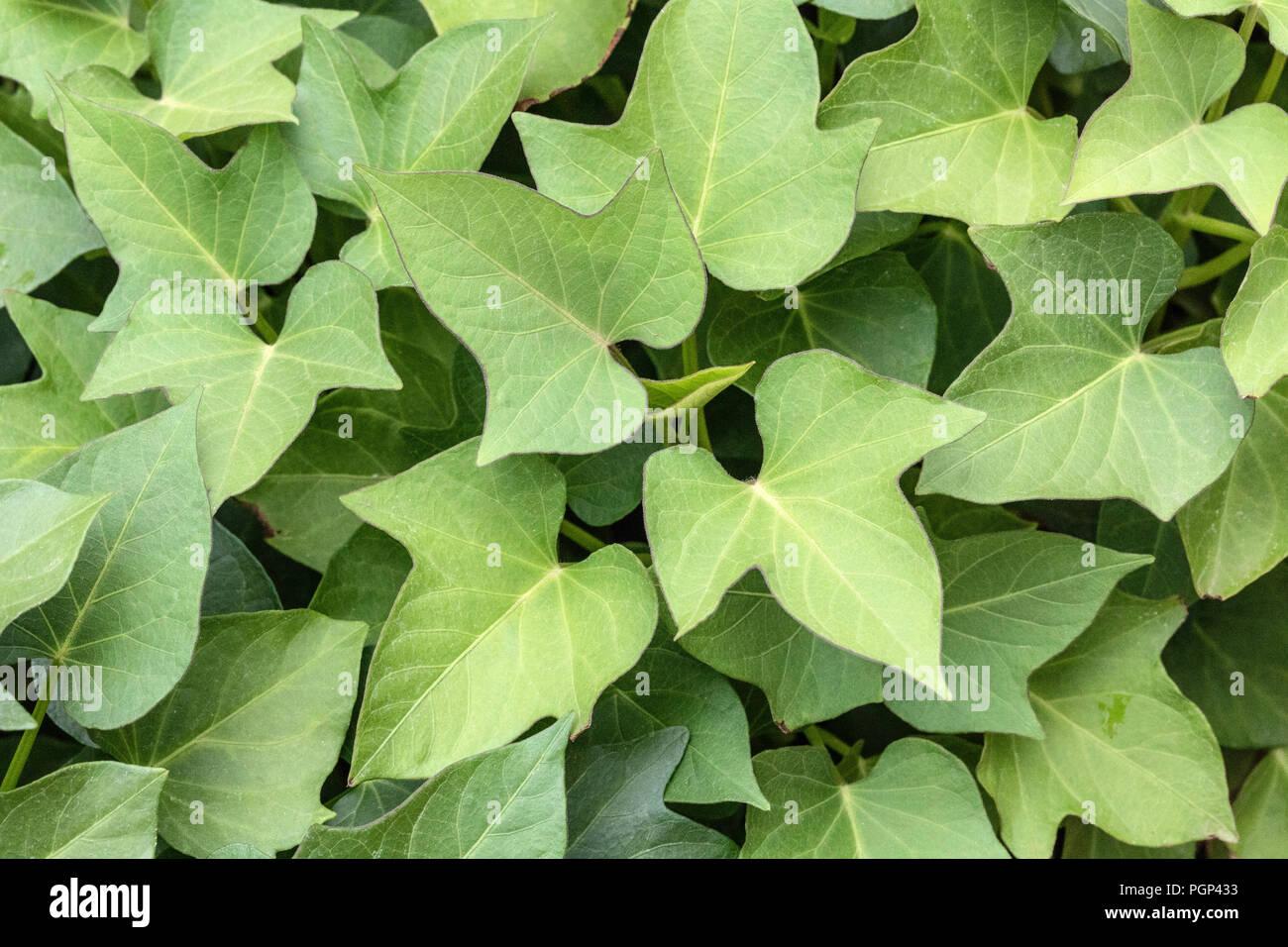 Sweet potato leaf Photo Stock