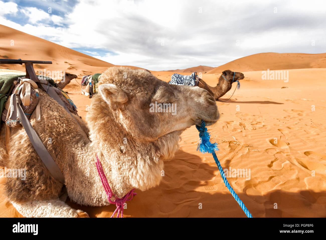 Maroc, désert du Sahara. Les chameaux au repos couché sur les dunes de sable. Close up camel au premier plan. Copy space Banque D'Images