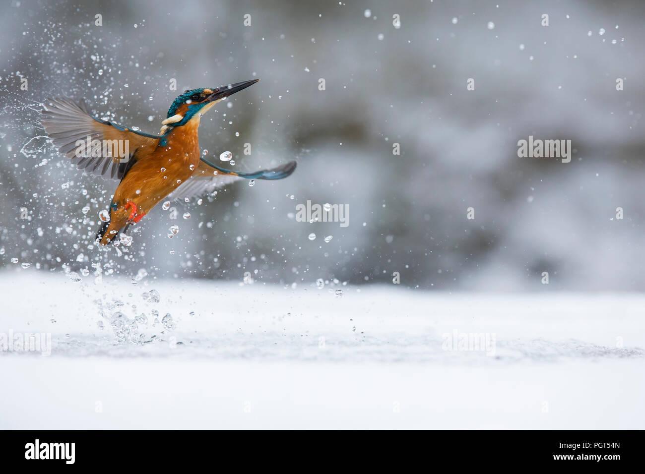 Kingfisher (Alcedo atthis) pêche à travers un trou dans la glace Photo Stock